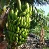 La Policía Local de Mogán intercepta una operación de sustracción de frutas