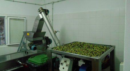 El molino de aceite comienza a moler los primeros 1500 kilos de aceitunas de la zafra de este año